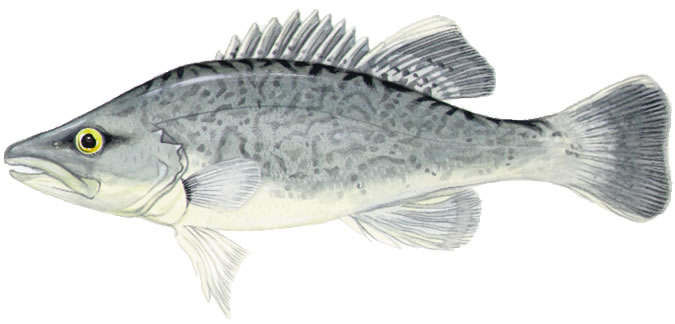 trout-cod-drawing-pic